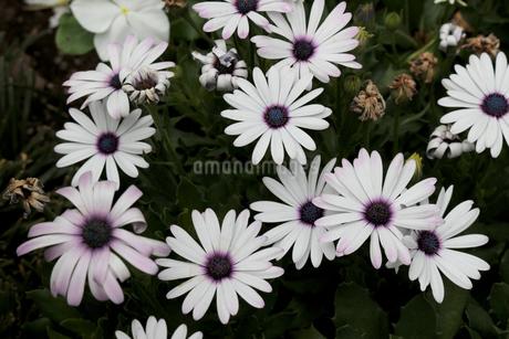 白い花びらに紫色が滲むマーガレットの写真素材 [FYI02976481]
