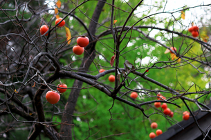 柿の木に果実が実る日本の冬の景色の写真素材 [FYI02976482]