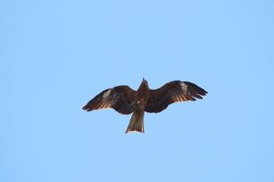 青空を飛ぶトビの写真素材 [FYI02976511]