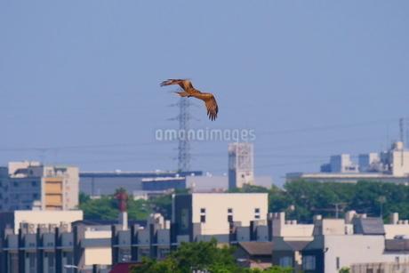 街の上を飛ぶトビの写真素材 [FYI02976531]
