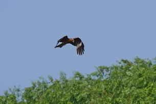 森の上を飛ぶトビの写真素材 [FYI02976540]