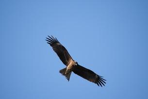青空を飛ぶトビの写真素材 [FYI02976546]