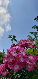 雲のある青空とピンク色に咲くバラの写真素材 [FYI02976576]