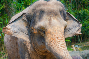 シンガポール動物園の象の写真素材 [FYI02976580]