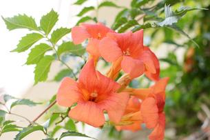 南国沖縄の赤い花が咲いているの写真素材 [FYI02976696]