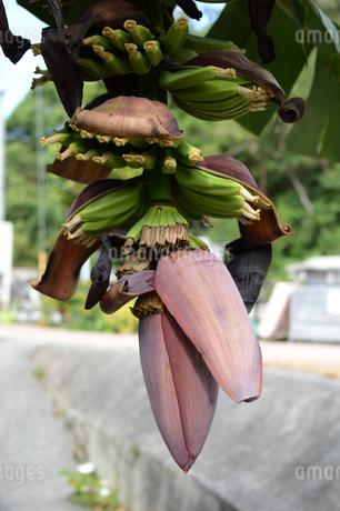 南国沖縄の路上にはみ出しているバナナの写真素材 [FYI02976698]