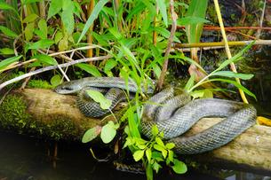 不忍池のヘビ(アオダイショウ)の写真素材 [FYI02976795]
