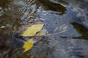 透明な水の川に黄色い落ち葉が波紋を作っているの写真素材 [FYI02976822]