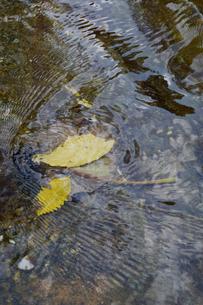 透明な水の川に黄色い落ち葉が波紋を作っているの写真素材 [FYI02976823]
