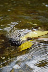 透明な水の川に黄色い落ち葉が波紋を作っているの写真素材 [FYI02976825]