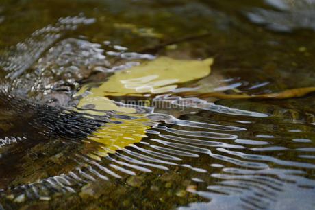 透明な水の川に黄色い落ち葉が波紋を作っているの写真素材 [FYI02976826]