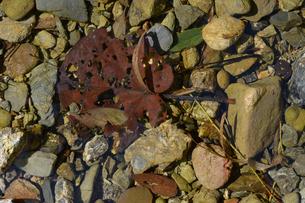 透明な水の川に沈んでいる枯葉の写真素材 [FYI02976829]