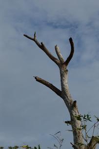 枯れて葉の無くなった幹の写真素材 [FYI02976839]