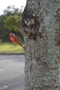 太い幹から一本生える葉の写真素材 [FYI02976846]