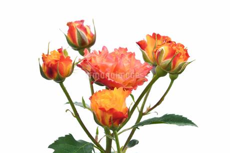 白背景の春薔薇の写真素材 [FYI02976847]