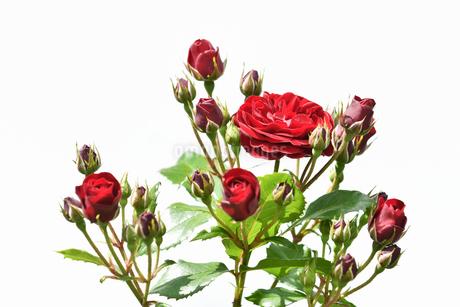 白背景の春薔薇の写真素材 [FYI02976848]