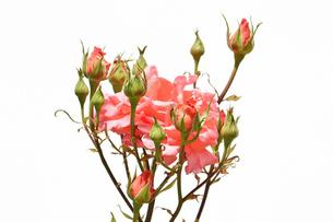 白背景の春薔薇の写真素材 [FYI02976849]