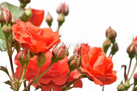 白背景の春薔薇の写真素材 [FYI02976850]