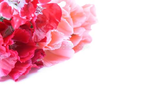 イロマツヨイグサの花束の写真素材 [FYI02976858]