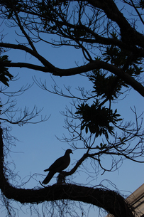 木で休んでいる鳩のシルエットの写真素材 [FYI02976868]