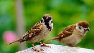 蓮池にスズメ二羽の写真素材 [FYI02976885]
