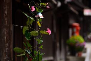 奈良井宿 アサガオの写真素材 [FYI02977266]