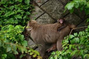 小猿の写真素材 [FYI02977271]