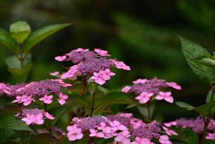 紫陽花の写真素材 [FYI02977273]