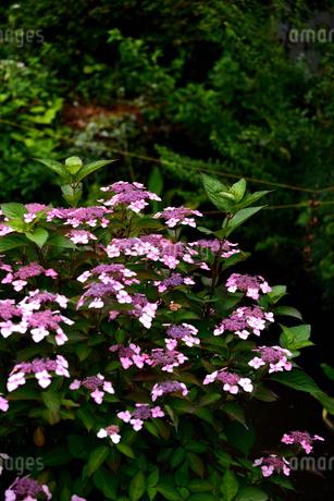 紫陽花の写真素材 [FYI02977276]