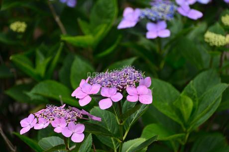 紫陽花の写真素材 [FYI02977277]
