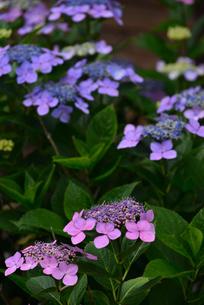 紫陽花の写真素材 [FYI02977278]