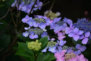紫陽花の写真素材 [FYI02977279]