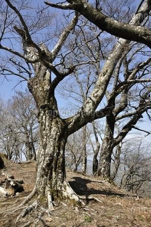 ブナの木の写真素材 [FYI02977309]