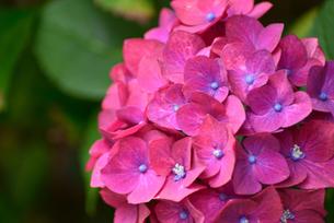 紫陽花の写真素材 [FYI02977523]