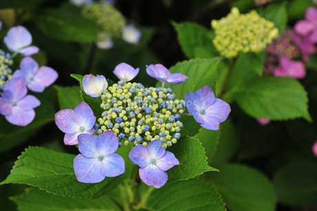 紫陽花の写真素材 [FYI02977532]