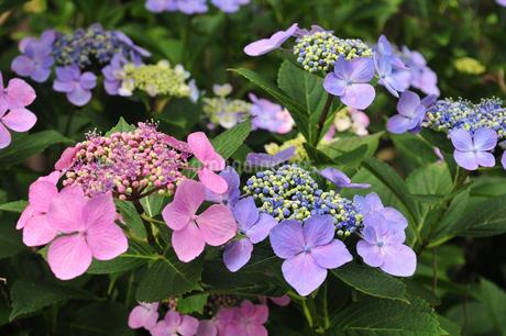 紫陽花の写真素材 [FYI02977534]