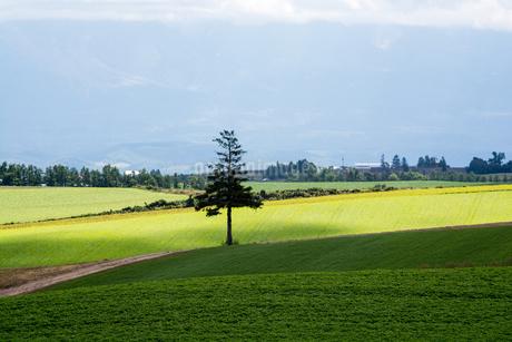 緑の畑の立つマツの木 美瑛町の写真素材 [FYI02977637]