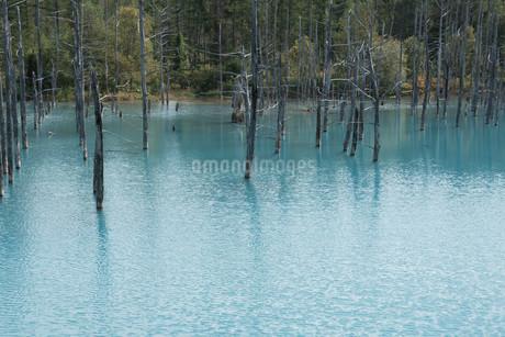 夏の青い池 美瑛町の写真素材 [FYI02977638]