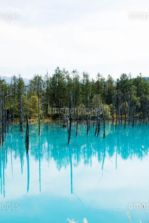 夏の青い池 美瑛町の写真素材 [FYI02977639]