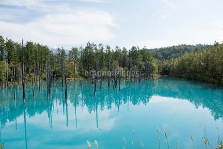 夏の青い池 美瑛町の写真素材 [FYI02977640]