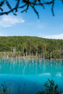 夏の青い池 美瑛町の写真素材 [FYI02977641]