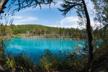 夏の青い池 美瑛町の写真素材 [FYI02977642]