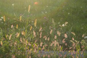 逆光に輝く野草の写真素材 [FYI02977650]