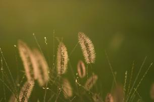 逆光に輝く野草の写真素材 [FYI02977651]