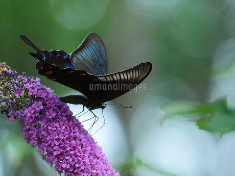 吸蜜するクロアゲハの写真素材 [FYI02977902]