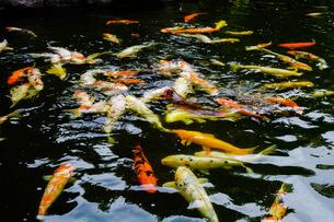 池で泳ぐ沢山のニシキゴイの写真素材 [FYI02977917]