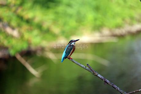 木にとまるカワセミの写真素材 [FYI02978002]