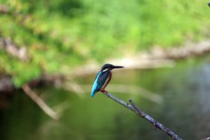 木にとまるカワセミの写真素材 [FYI02978005]