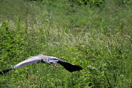 飛ぶアオサギの写真素材 [FYI02978007]