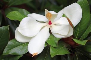 タイザンボクの花の写真素材 [FYI02978011]